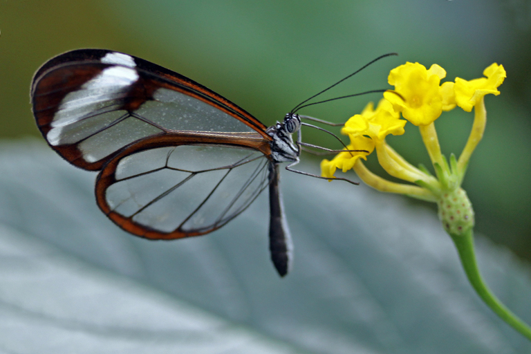 Glasswinged Butterfly Simply Wild Photography