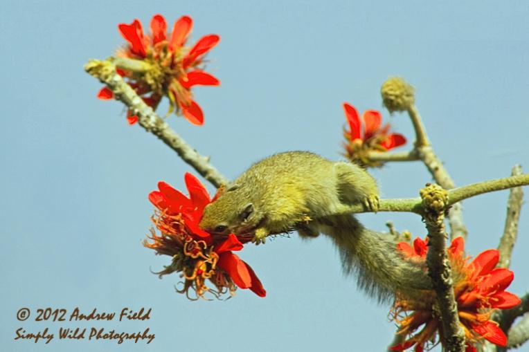 Squirrel Feeding on Nectar_2008_09_07_5390_768x512