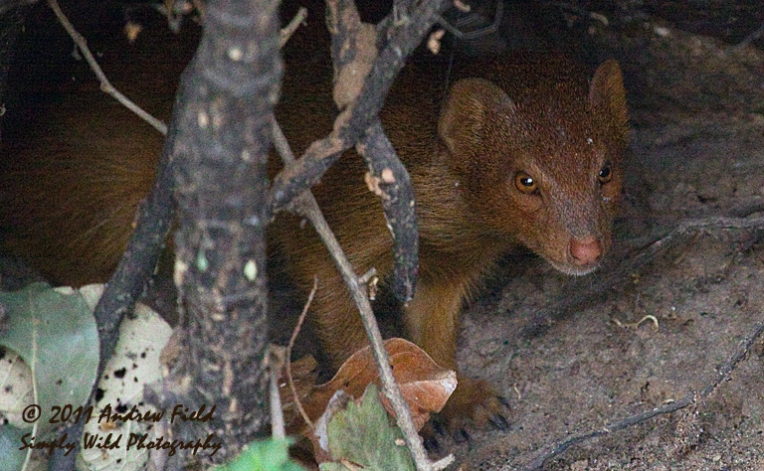 Brown Mongoose_2010_10_15_1503_768x478px