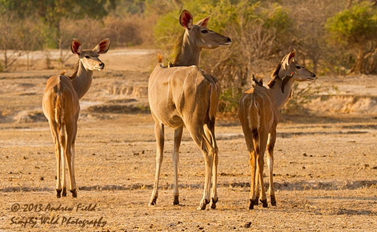 Kudu Eyes Right_2011_10_24_3074_768x474px
