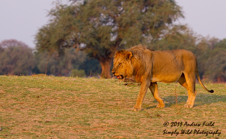 Lion Strolling_2011_10_20_2694_768x474px