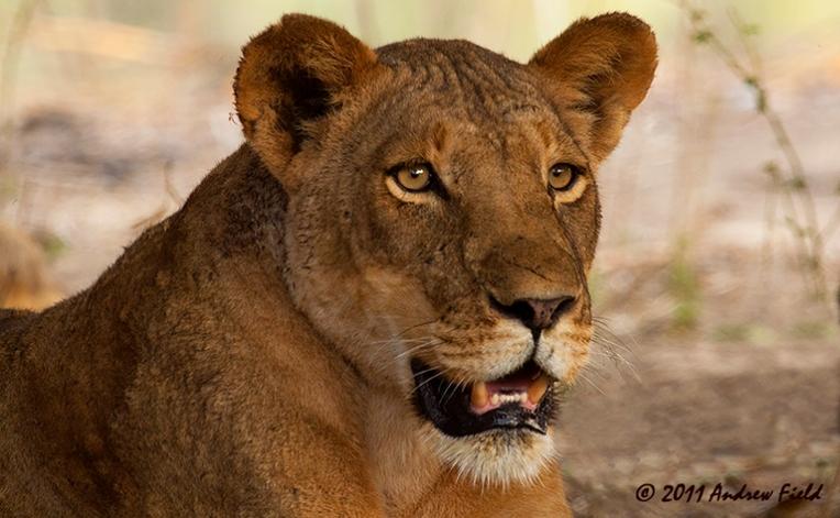 Lioness Portrait_2011_09_12_2085_768x474px