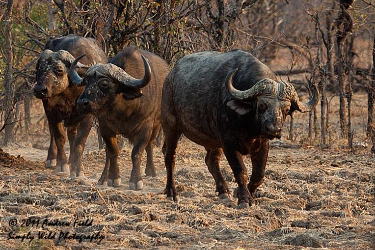 Three Buffalo_2011_09_11_2211_768x512px