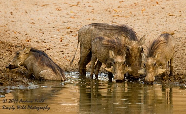 Warthogs Drinking_2011_10_24_2642_768x474px