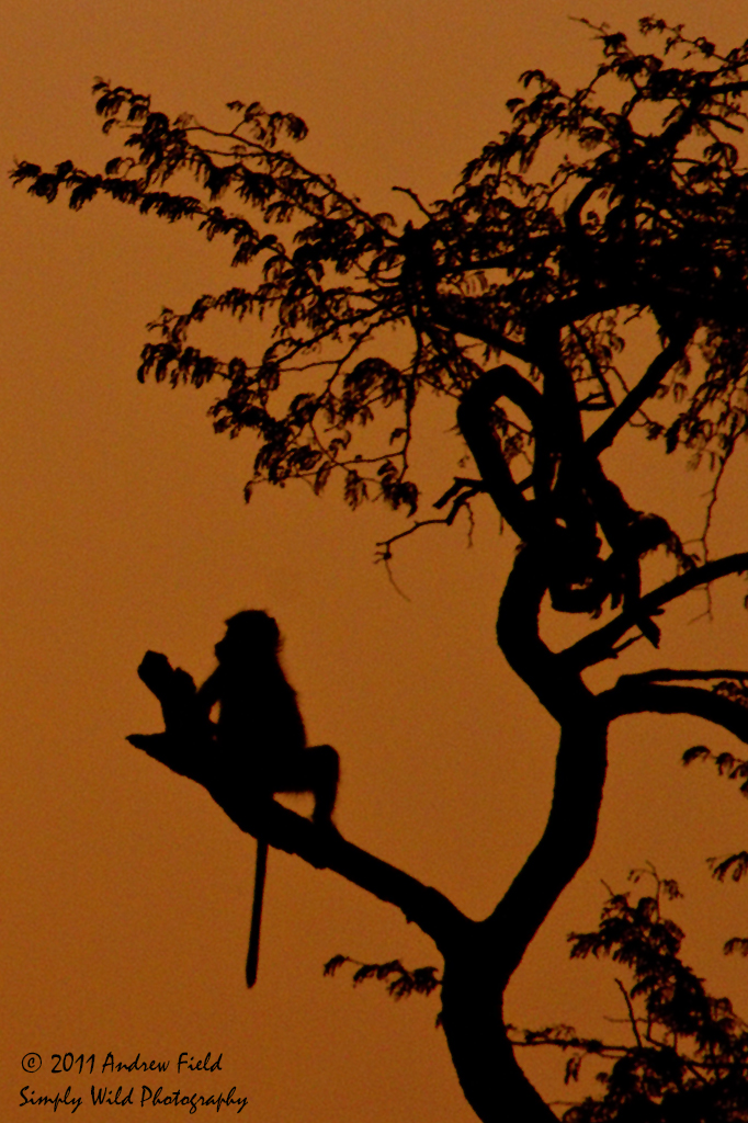 Baboon Roosting_2011_10_22_3342