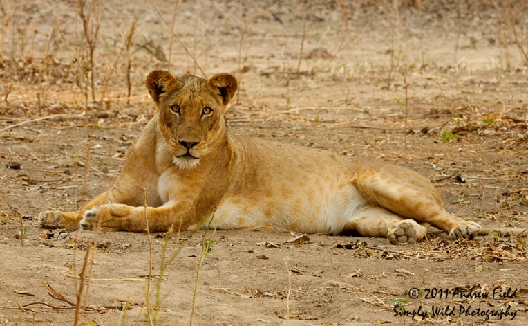 Belly Content Lioness_2011_09_12_2090