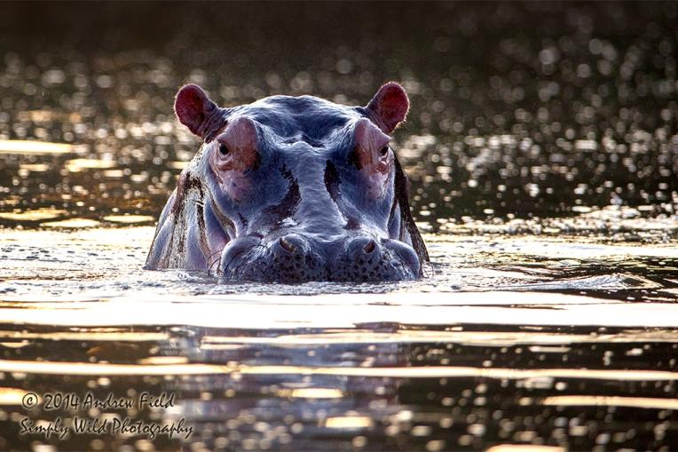 Hippo Rising_2014_05_17_0569