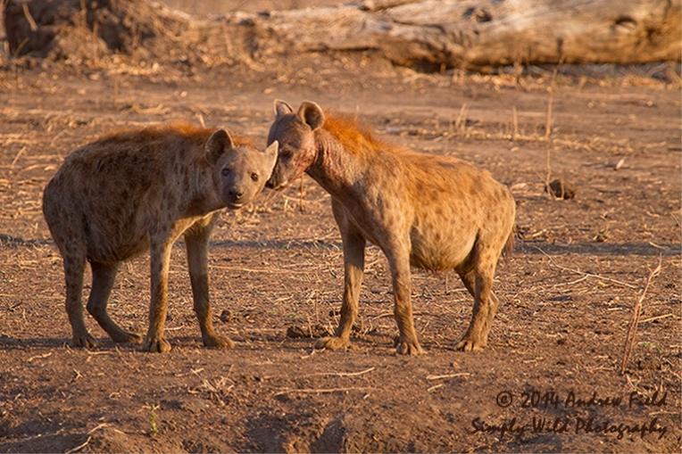 Hyena Females_2011_10_24_3068_768x512px