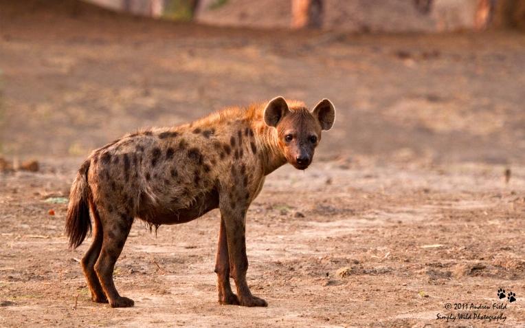 Hyena_2011_10_24_3021