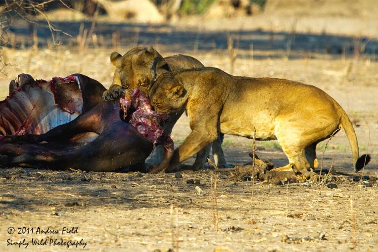 Lion Breakfast Bliss_2011_10_23_2944