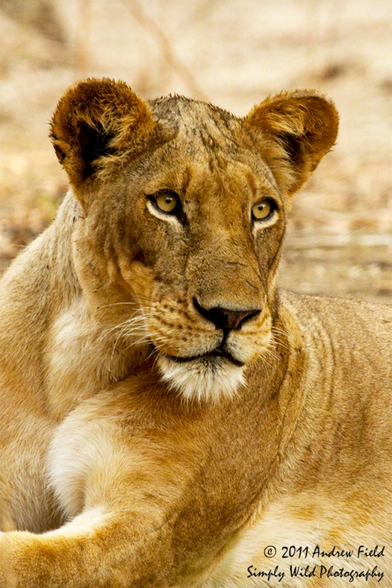 Lioness on the Lookout_2011_09_12_2088_1024px