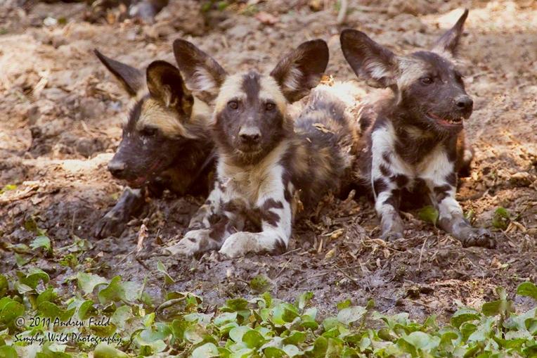 Three Wild Dogs_2011_10_23_3010_1024px