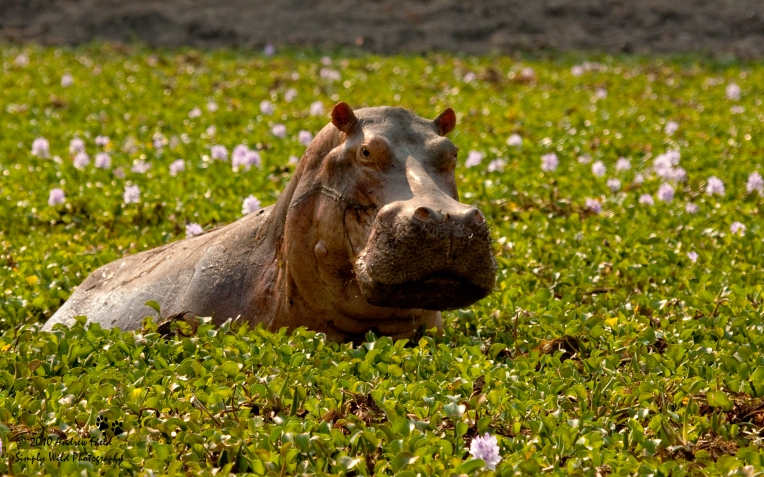 Hippos in the Hyacinth_2010_10_13_1190