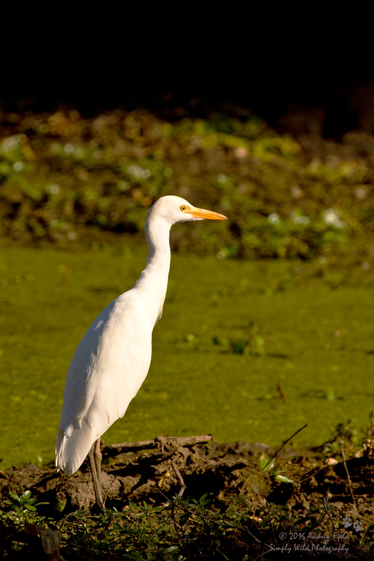 Yellow Billed Egret_2012_05_21_4004.jpg
