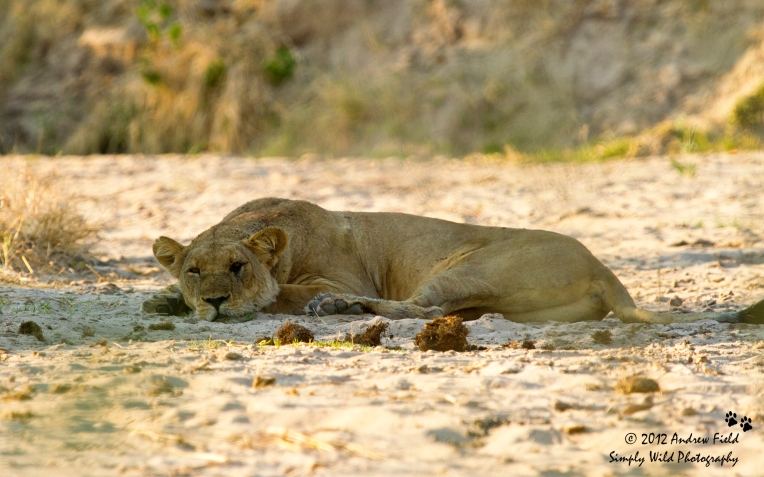 Lioness in Riverbed_2012_05_21_4057