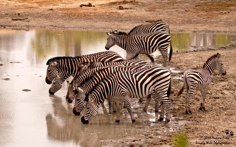 Zebra Drinking_2011_10_22_3194