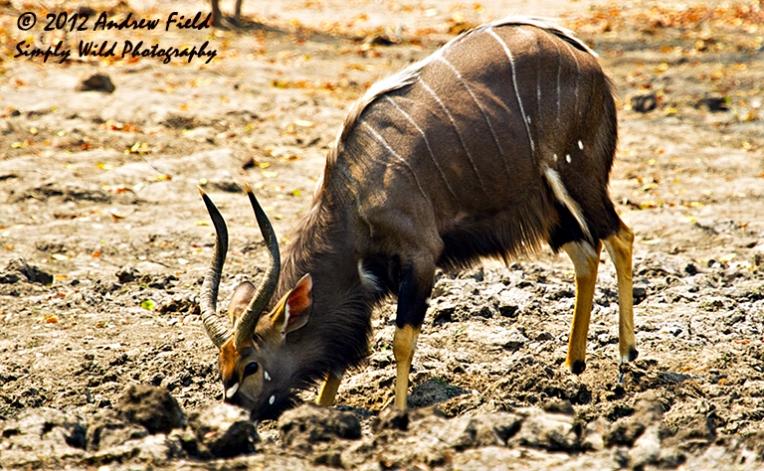 Nyala Bull Taking Water_2012_09_02_5482_768x474px