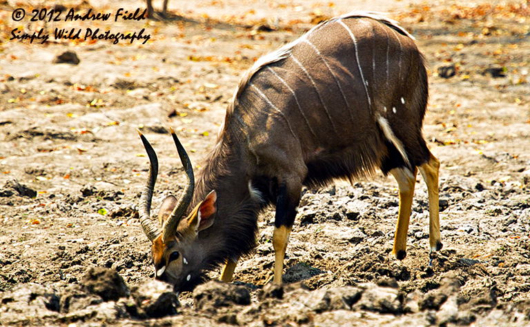 Nyala Bull Taking Water_2012_09_02_5482_768x474px