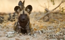 Outstaring Wilddog_2012_09_02_5400_768x474