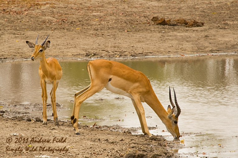 Impala Males at Water_2011_10_22_3114_768x512px