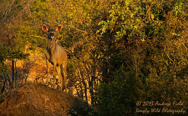 Kudu on Ant Heap_2013_06_02_9171_768x474px