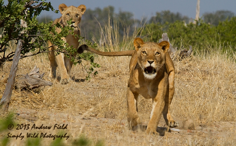 Charging Lioness_2013_06_03_9200_768x474px