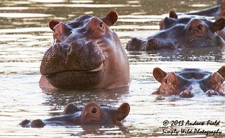 Hippo Poses_2013_06_01_9053_768x474px
