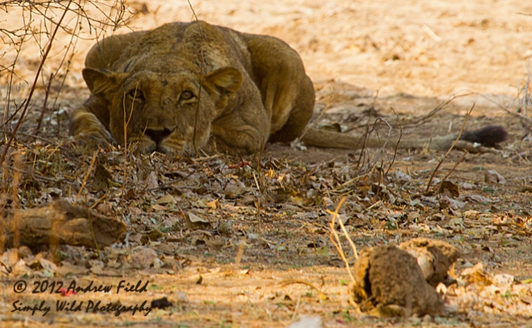Lioness Alerted_2012_09_06_6768_768x474px