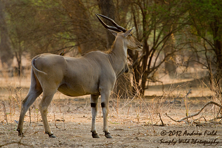 More Eland Simply Wild Photography