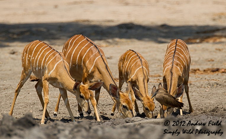 Orchestrated Nyala_2012_09_04_6156_768x474px
