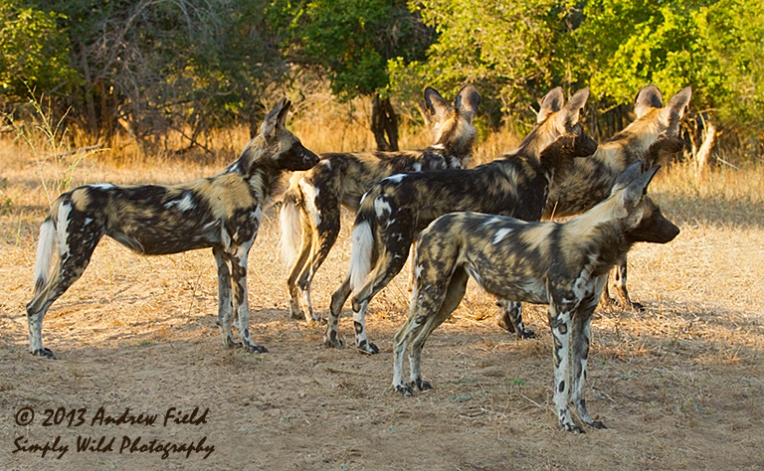 Wild Dog Alerted_2013_06_04_9674_768x474px