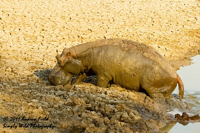 Drought Stricken Hippo_2011_10_24_2552_768x512px