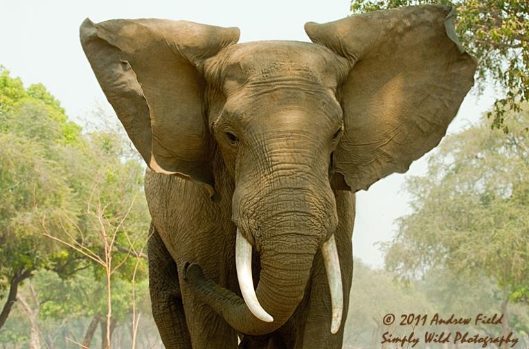 Elephant Charging_2011_09_11_2241_768x512px