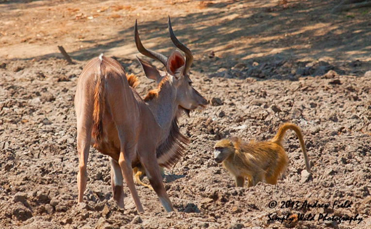 Kudu and Baboon_2013_10_07_2313_768x474px