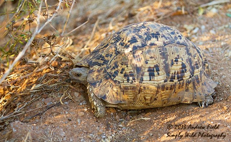 Leopard Tortoise_2013_10_08_0587_768x474px