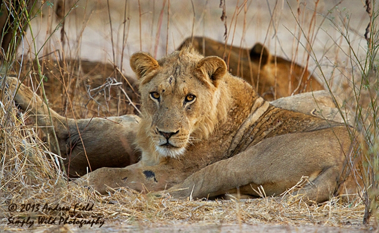 Morning Lion_2013_06_04_9366_768x474px