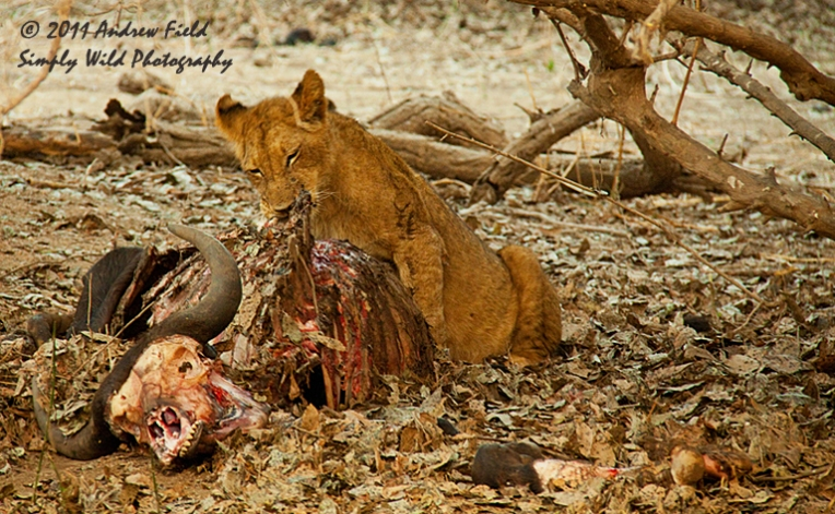 Lion Kill_Morning After_2011_09_12_2434_768x474px