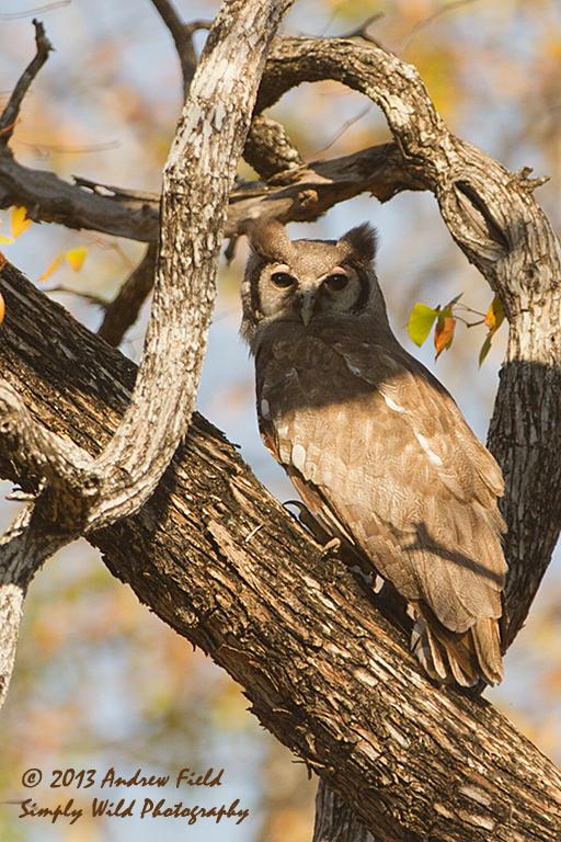 Verreaux's Eagle Owl_2013_10_05_1424_512x600px
