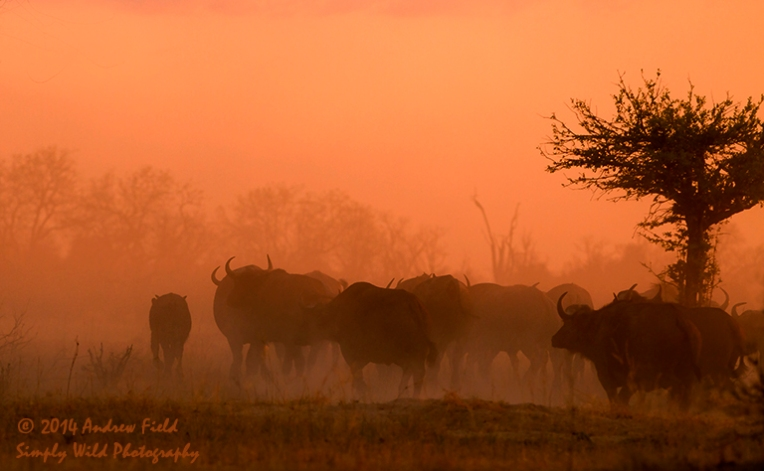 Buffaloes at Dusk_2013_10_02_0983_768x474px