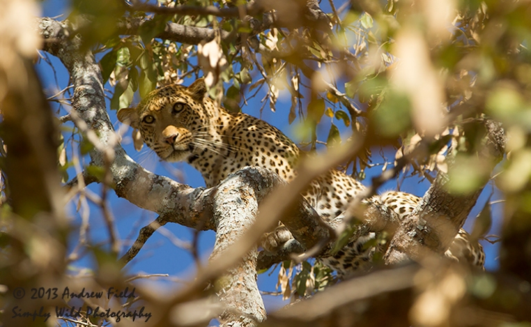 Leopard in Refuge_2013_10_03_1095_768x474px