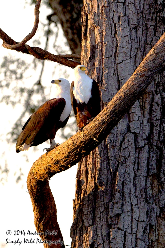 Two Fish Eagles_2014_05_13_0757_1024px