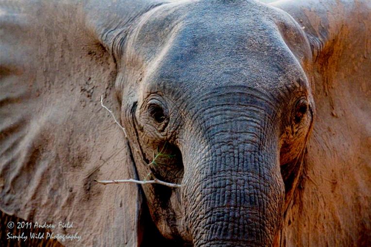 Elephant Stick and Ears_2011_09_10_2156_1024px