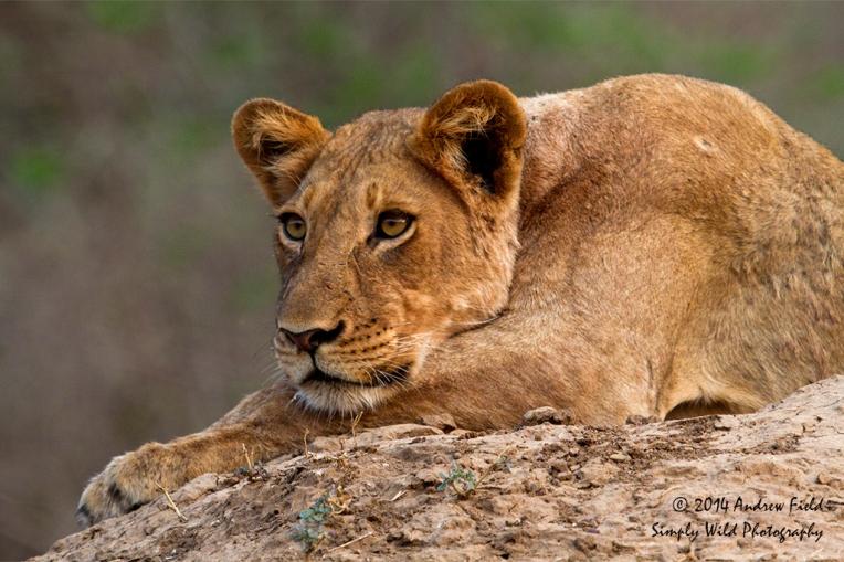 Lion Portrait_2014_10_03_4347