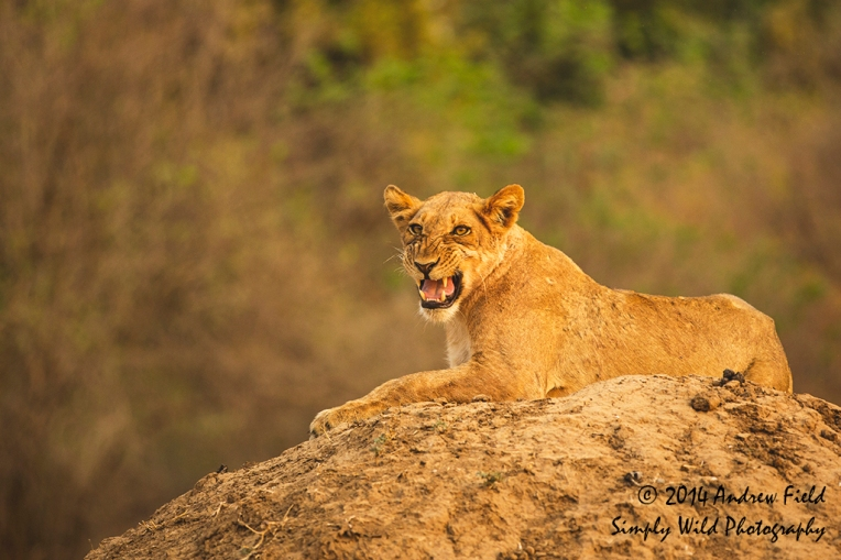 Sneering Lion_2014_10_03_3653