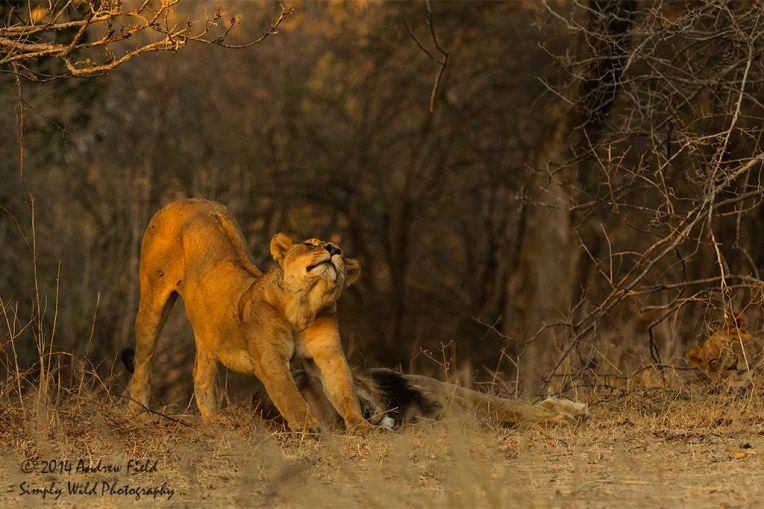 Stretching Lioness_2014_10_05_2707