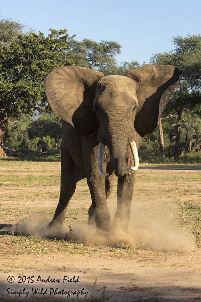 African Bull Elephant Charge_2015_05_20_7173