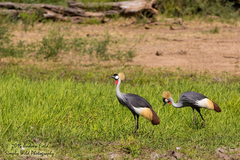 Grey Crowned Cranes_2015_05_20_7360 copy