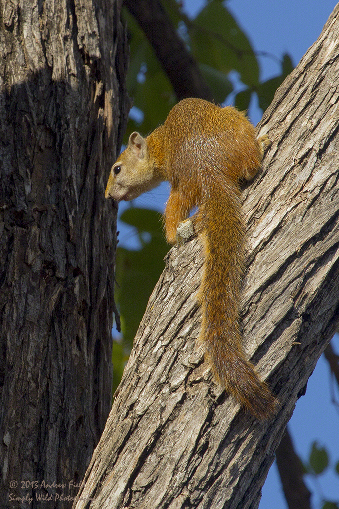 Tree Squirrel_2013_06_02_9095