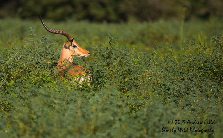 Indigofera Impala_2015_05_20_7283