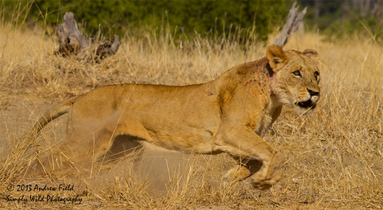 Lioness Charging_2013_06_03_9217